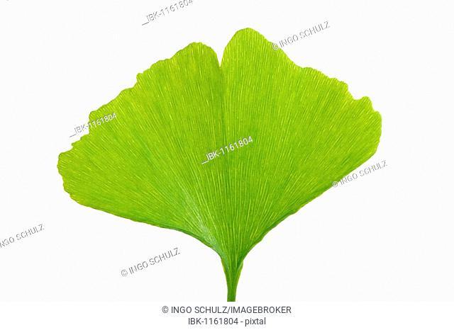 Leaf of the Ginkgo tree or Ginko (Ginkgo biloba)