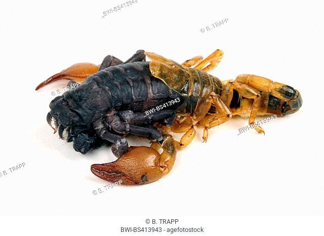 scorpions (Scorpiones), skinning scorpion