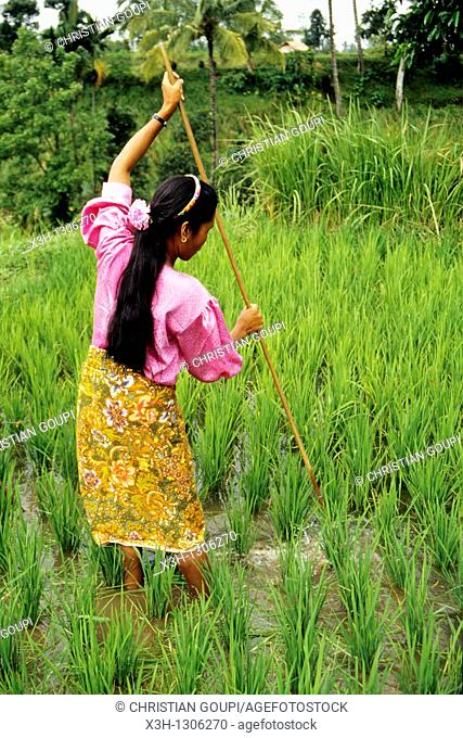 woman at work in rice paddy, Lombok island, Lesser Sunda Islands, Republic of Indonesia, Southeast Asia and Oceania