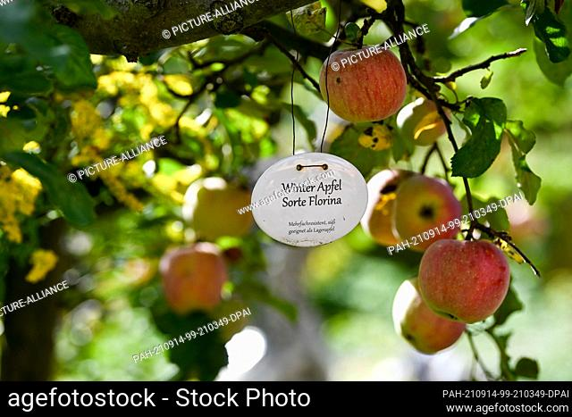 "13 September 2021, Brandenburg, Werder (Havel): A winter apple tree of the variety """"Florina"""" in the sea buckthorn garden Petzow"