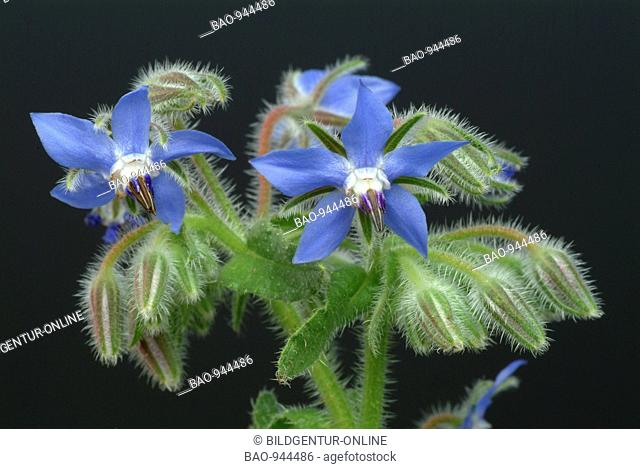 Medicinal plant Borretsch, Borage, Borago officinalis