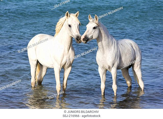 Arab and Barb Horse. Pair of gray stallions standing in shallow water. Tunisia