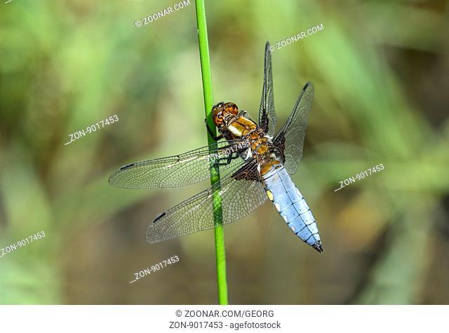 Plattbauch (Libellula depressa), Männchen, Familie der Segellibellen (Libellulidae), Schweiz / Broad-bodied chaser dragonfly (Libellula depressa), male