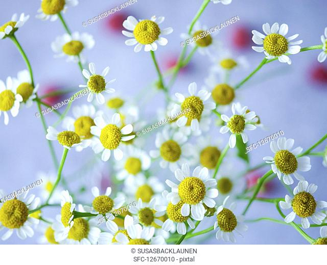 Fresh camomile flowers