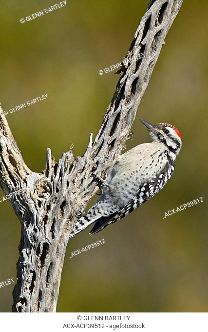 Ladder-backed Woodpecker Picoides scalaris perched on a branch near the Bosque del Apache wildlife refuge near Socorro, New Mexico, United States of America