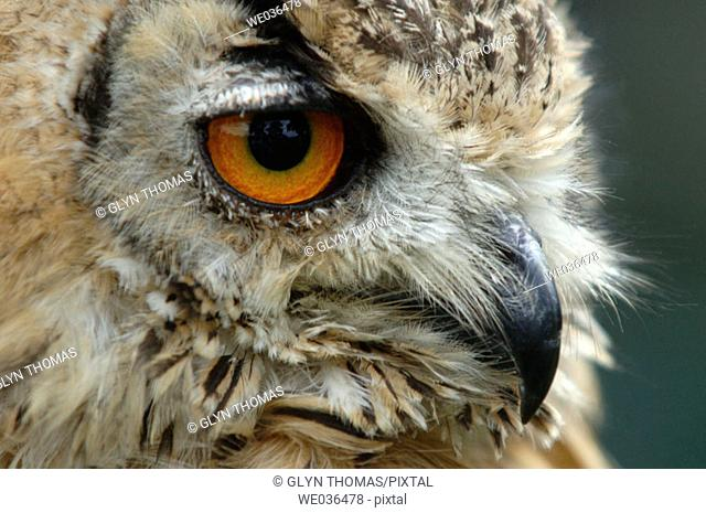 Bengal Eagle Owl side profile
