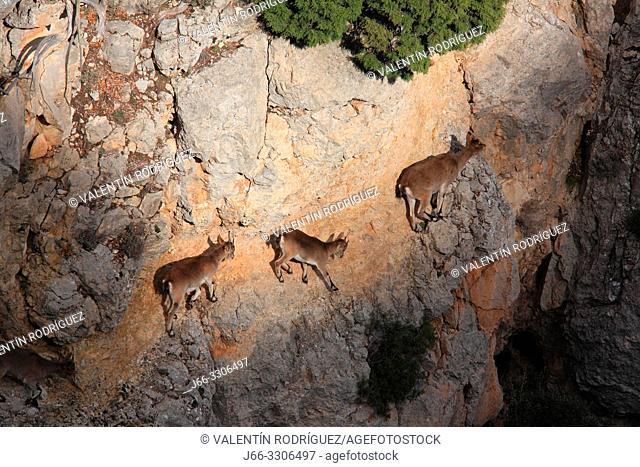 Mountains goats (Capra hispanica). A female and young walk on a vertical wall. Sierra Javalambre. Teruel. Spain