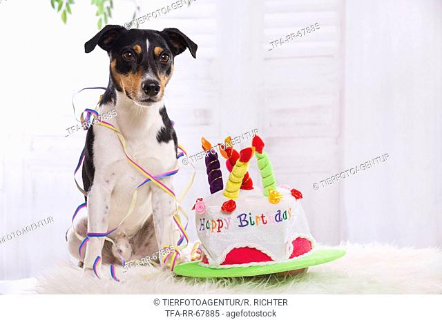 sitting Jack Russell Terrier