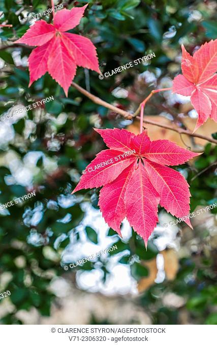 Virginia Creeper (Parthenocissus quinquefolia) in Red Fall Color