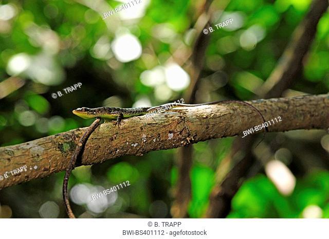 Green-bellied Tree Skink (Lioscincus nigrofasciolatum), on a branch, New Caledonia, Ile des Pins