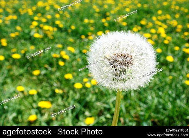 Beautiful dreamy spring nature background with dandelion