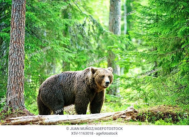 European brown bear Ursus arctos arctos in the forest. Martinselkonen Nature Park, region of Kainuu, Finland, Scandinavia, Europe