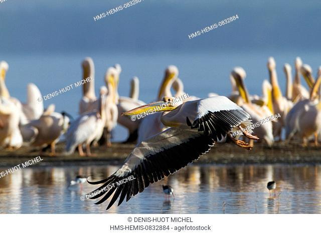 Kenya, Rift Valley, Nakuru National Park, white pelican (Pelecanus onocrotalus)