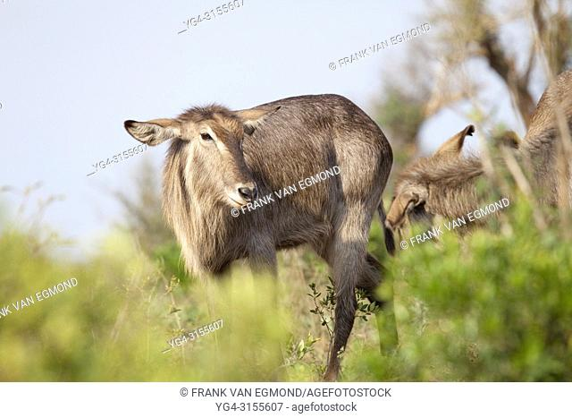 Waterbuck (obus ellipsiprymnus), Hluhluwe-Imfolozi, South Africa