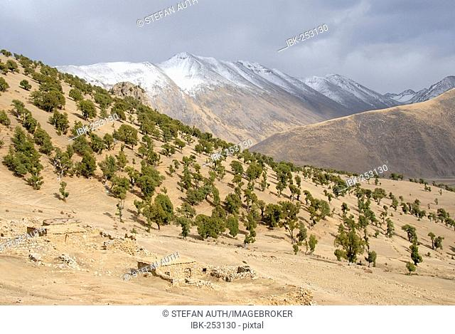 Forest of old juniper Juniperus trees and snow covered mountains at Reting monastery Tibet China
