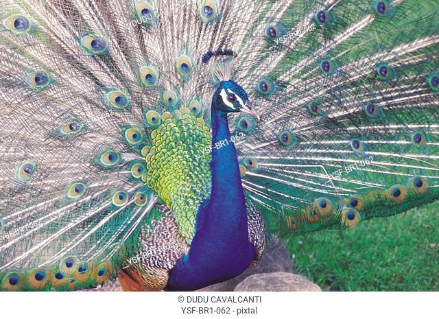 Peacock, animal