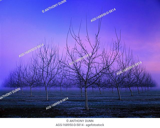 Agriculture - Dormant walnut orchard in Winter at dusk / near Butte City, California, USA