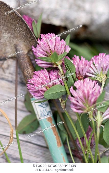 Clover flowers and a garden trowel