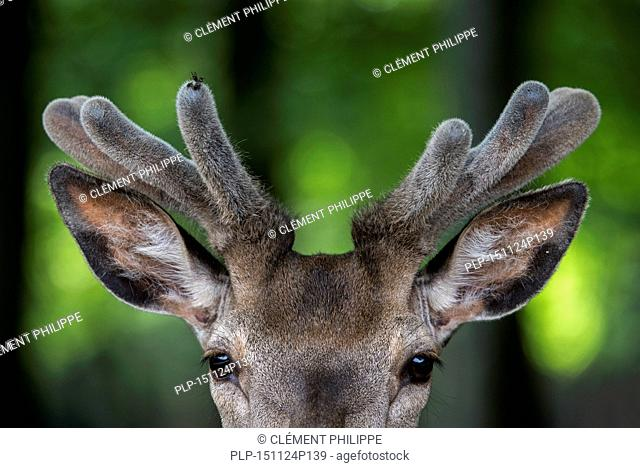 Close up of red deer stag (Cervus elaphus) with antlers covered in velvet in spring