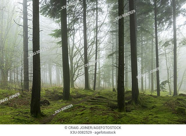 Conifers in Stockhill Wood on the Mendip Hills, Somerset, England