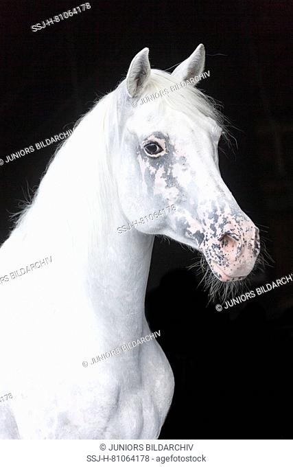 Appaloosa horse. Portrait of gray stallion, seen against a black background. Germany