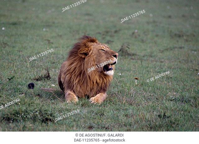 Lion (Panthera leo), Felidae, Masai Mara National Reserve, Kenya