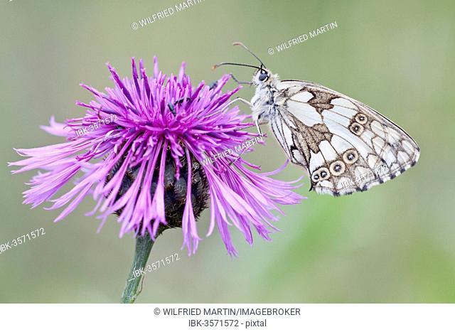 Marbled White Butterfly (Melanargia galathea) on Brownray Knapweed (Centaurea jacea), North Hesse, Hesse, Germany