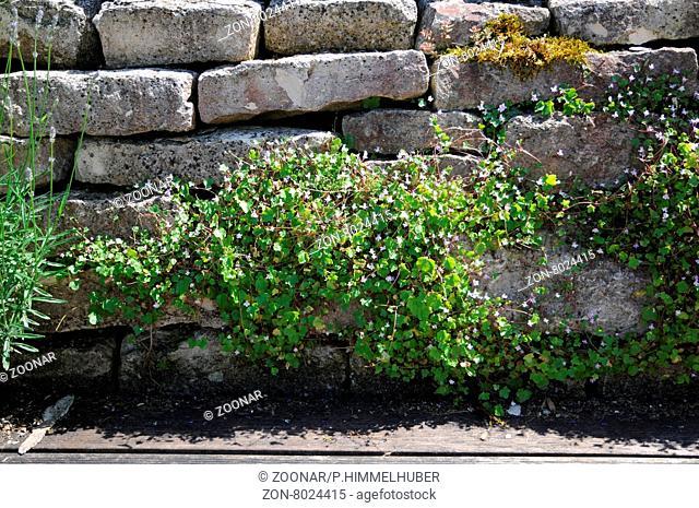 Cymbalaria muralis, Zimbelkraut, Toad flax