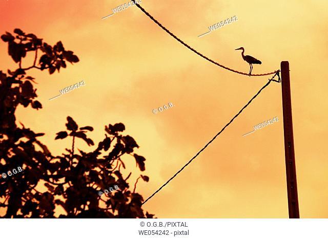 Wading bird on power lines in the evening. Ebro delta area, Tarragona province, Catalonia, Spain