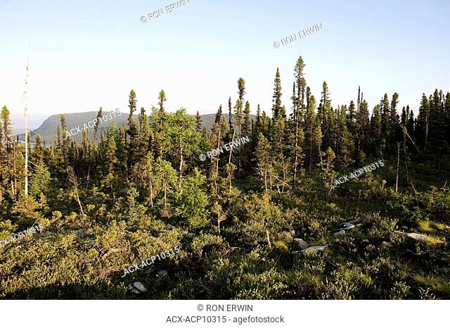 Boreal forest mostly spruce along the Labrador Coastal Drive route 510 between Red Bay and Cartwright, Labrador, Newfoundland and Labrador, Canada