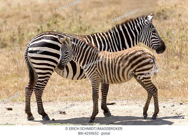 Plains zebra, also common zebra or Burchell's zebra (Equus quagga) with foal, Lake Nakuru National Park, Kenya
