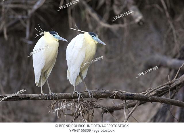 Capped heron (Pilherodius pileatus), two adults perched on branch, Pantanal, Mato Grosso, Brazil