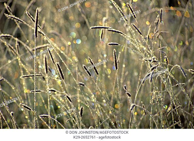 Frosted grasses, Sundre, Alberta, Canada