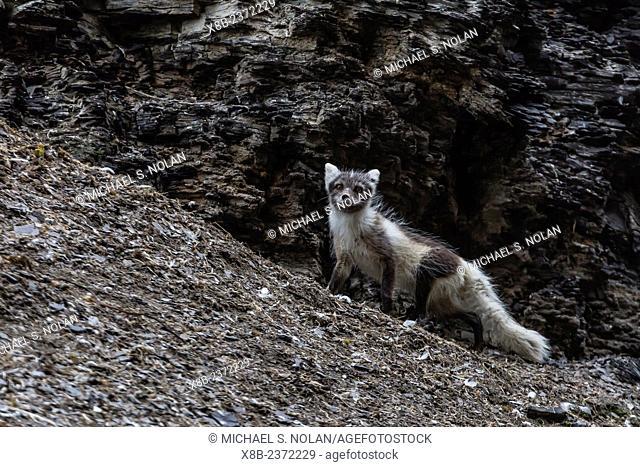 Adult arctic fox, Vulpes lagopus, losing its winter coat for its summer coat, hunting for birds at Diskobukta, Edgeoya, Svalbard, Norway