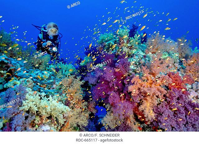 diver and softcorals Lyretail Anthias, Shaab Rumi Reef, Sudan, Africa, Red Sea / (Capnella sp.), (Dendronephthya sp.), (Pseudanthias squamipinnis)