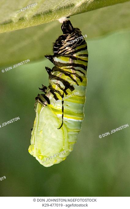 Monarch butterfly (Danaus plexippus), 5th instar larva transforming to chrysallis. Lively, ON, Canada