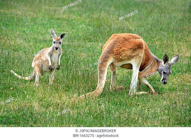 Red Kangaroo (Macropus rufus), female adult and young, feeding, Australia
