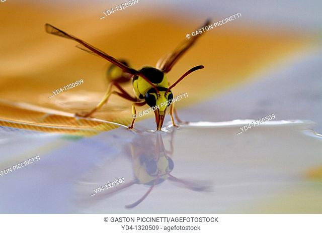 Social Wasps Family vespidae, drinking water, Mabuasehube, Kgalagadi Transfrontier Park, Kalahari desert, Botswana