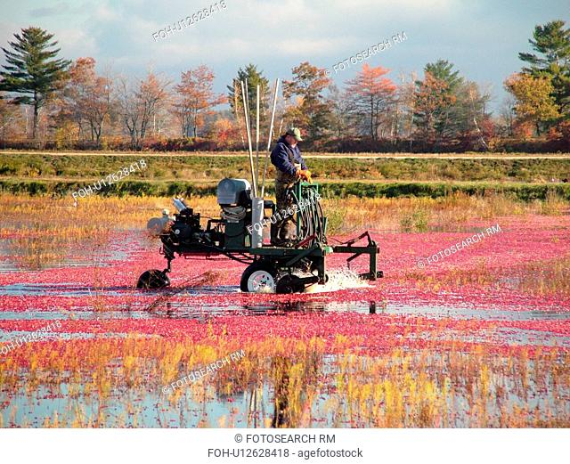 South Carver, MA, Massachusetts, Plymouth County, Cranberries, Cranberry Wet Harvest, water reels
