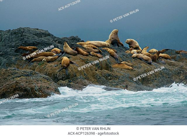 Steller Sea Lions (Eumetopias jubatus) Rookery on an island near Ucluelet,Pacific Rim National Park,British Columbia,Canada
