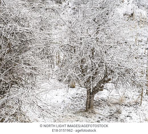 Canada, BC, Bridesville. Bare trees covered in snow and frost