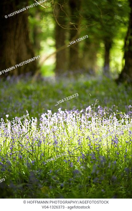 Bluebells in the forest of Muckross House, County Kerry, Ireland, Europe