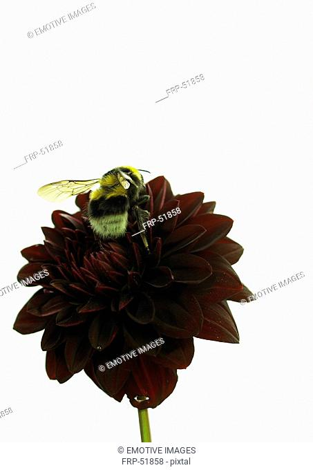 Bumble bee on a dahlia blossom