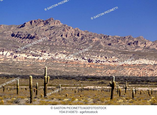 The Cardones National Park, Route 33, Calchaquies Valleys, Salta, North West, Argentina. This park is located in the department of Cachi