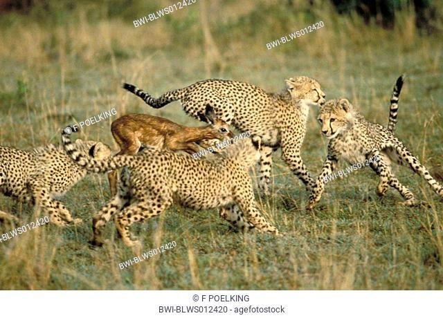 cheetah Acinonyx jubatus, four young, surrounding young impala, Kenya, Masai Mara