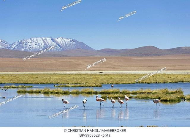 Chilean Flamingos (Phoenicopterus chilensis) at a lake in the highlands, San Pedro de Atacama, Antofagasta Region, Chile