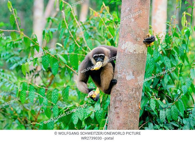 Indonesia, Kalimantan, Borneo, Kotawaringin Barat, Tanjung Puting National Park, Gibbon Feeding, Bornean White-bearded Gibbon (Hylobates albibis)