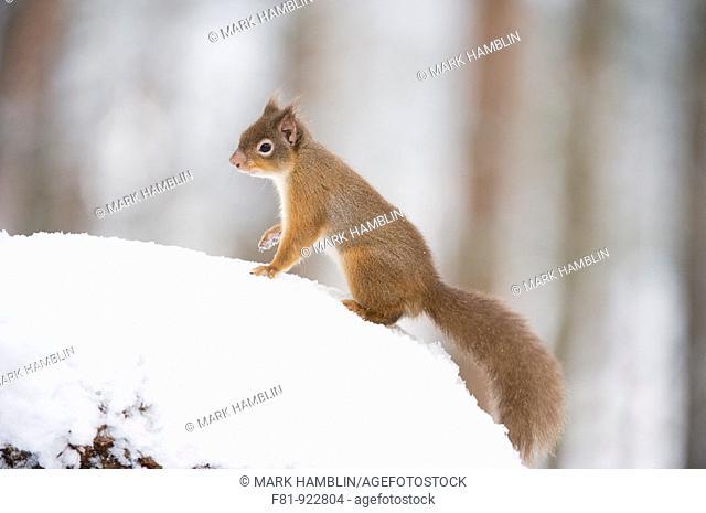 Red Squirrel Sciurus vulgaris in winter coat in snow  Scotland  January