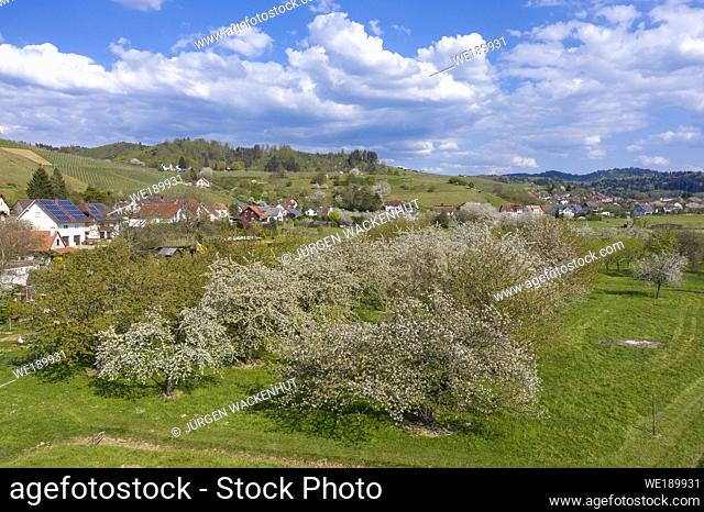Drone aerial view, Landscape with blossoming fruit trees in the Kinzig valley, Ortenberg, Black Forest, Baden-Wurttemberg, Germany, Europe