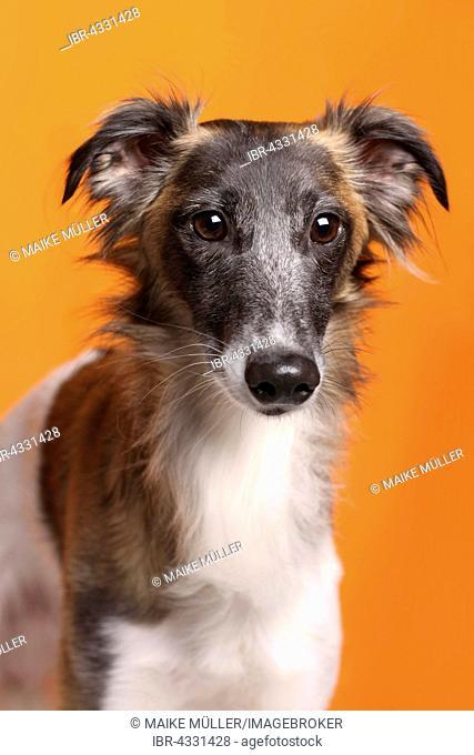 Silken Windsprite sighthound